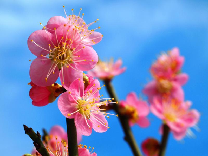梅の花 満開です