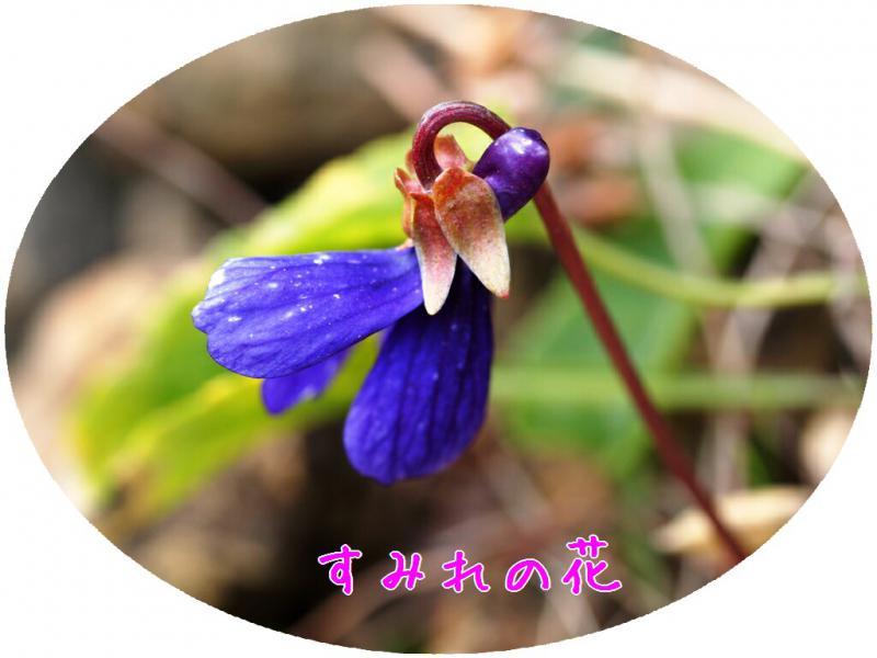 すみれの花 1