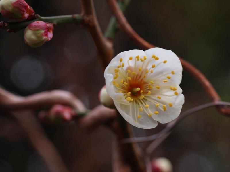 梅が咲き始めました 2.4