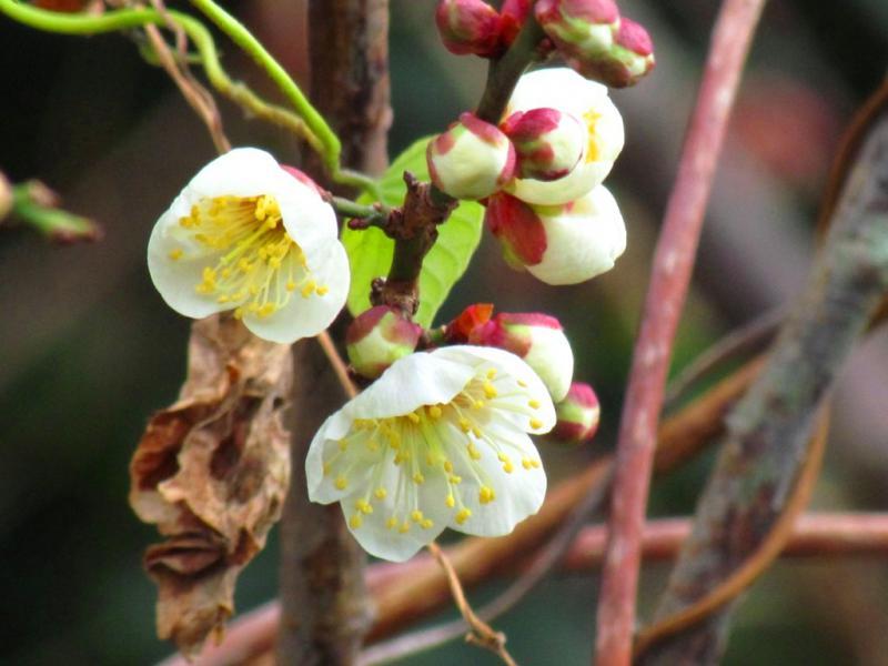 立春に咲き始めた白梅 2.4
