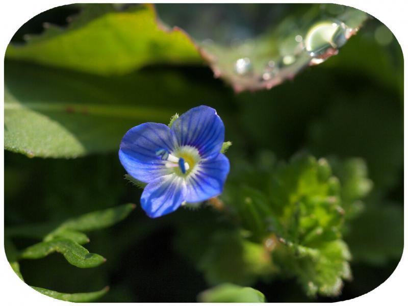 春を告げる野の花 おおいぬのふぐり