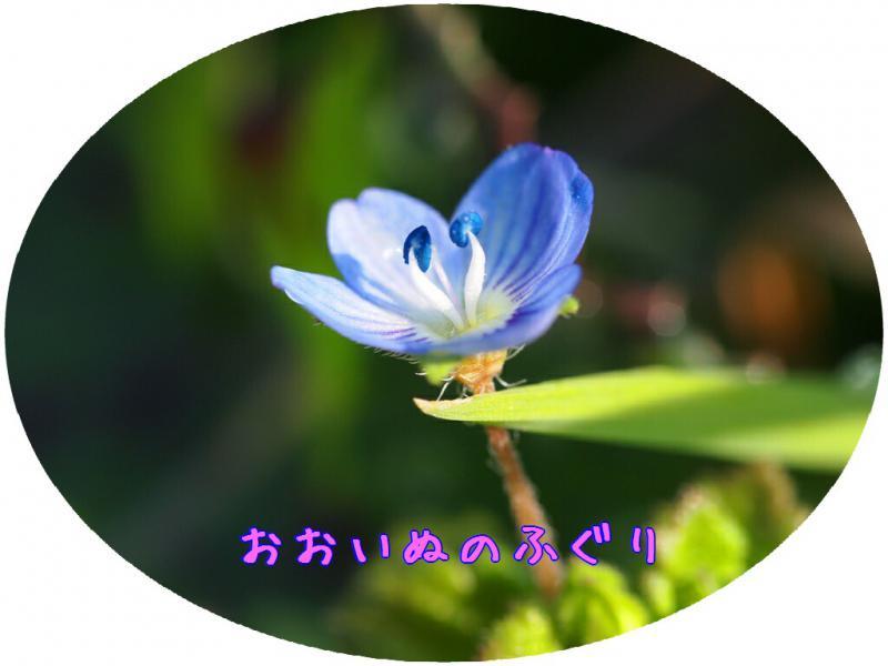 おおいぬのふぐり開花