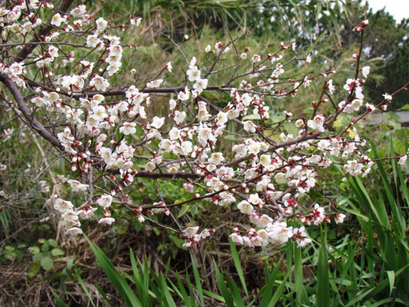 梅の花 満開 里にて