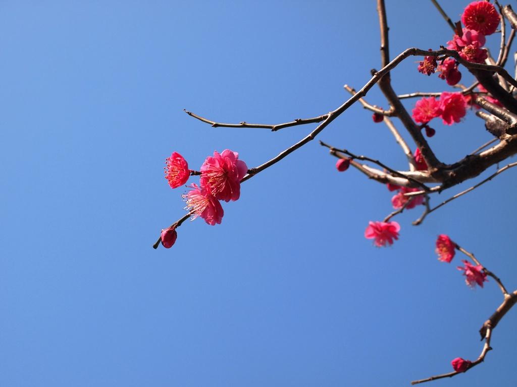 紅梅が咲いています