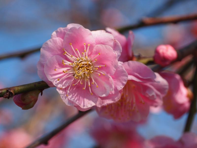 浦内小の垂れ梅の花