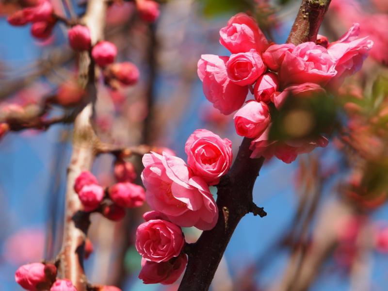 桃の花も咲き始めて