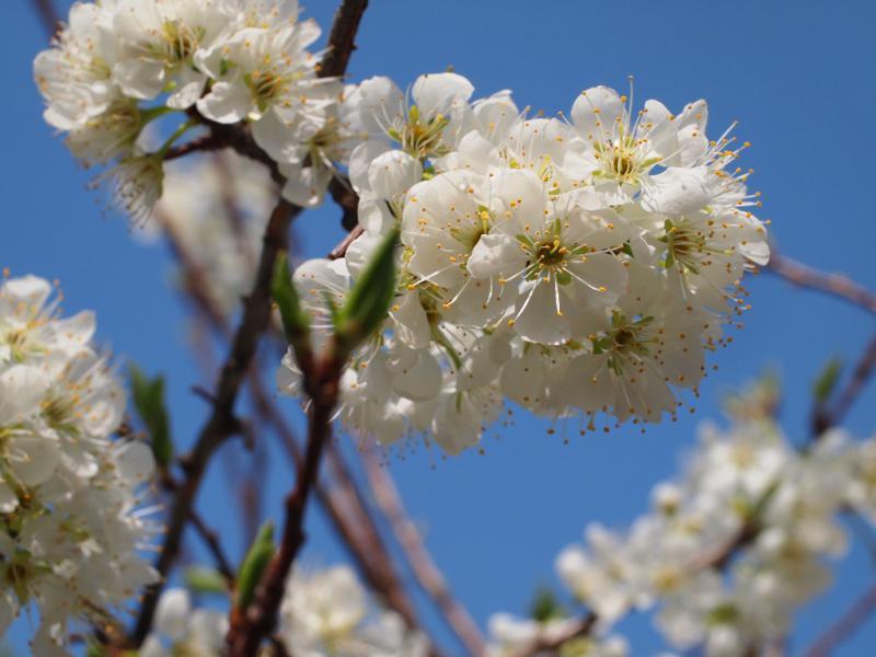 スモモの花 満開