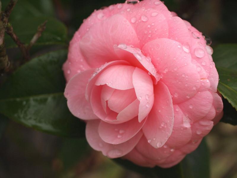 雨上がりの乙女椿