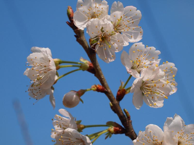 サクランボの花 1