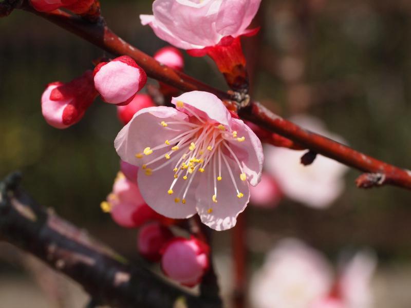杏の花 1