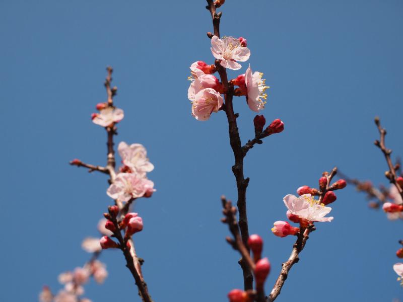 杏の花 6