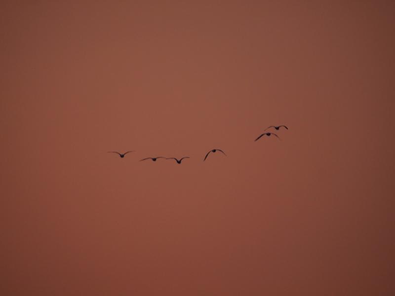 夕焼け空に鳥 1