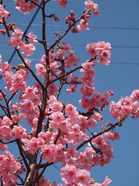 陽光桜 満開