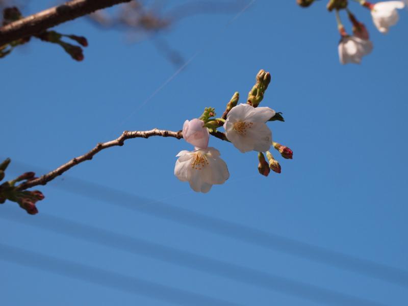 桜 咲始めました