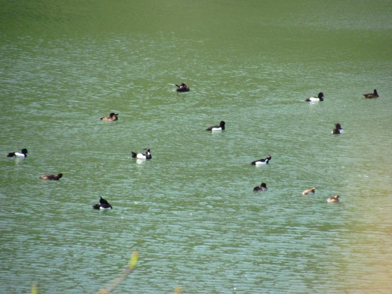 くわさき池に 鴨?