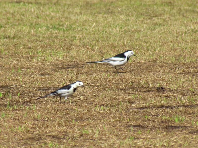 ホオジロハクセキレイ 2羽