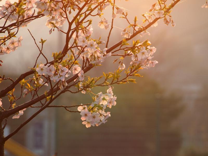 朝もやの中の桜