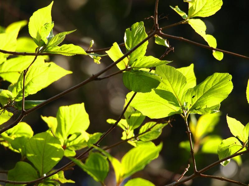 桜の新緑 陽射しの中で