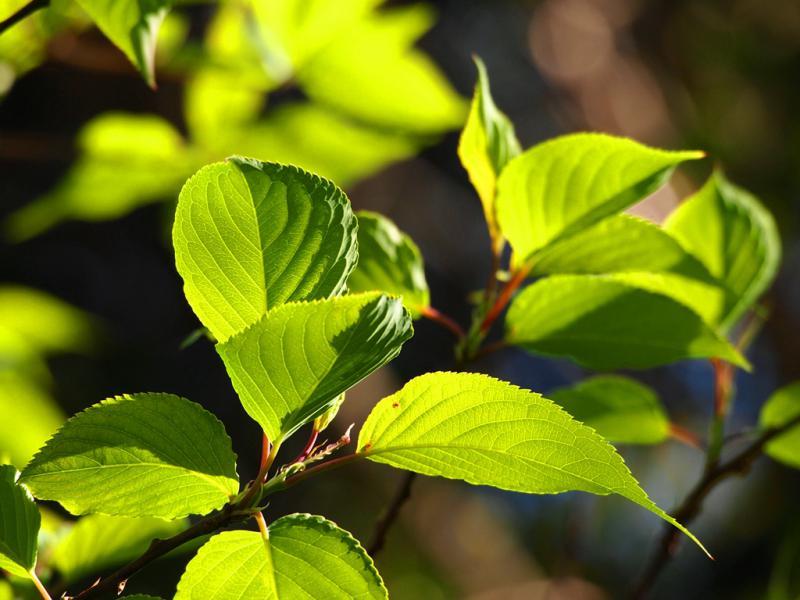 新緑 山桜
