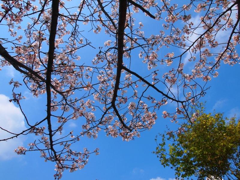 もみじの新緑と桜・・・空に