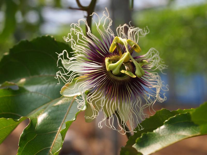 ジャンボの花