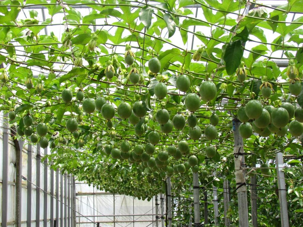 パッション フルーツ 栽培