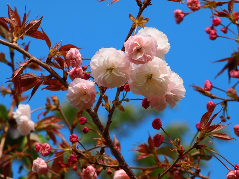 浦内小の八重桜