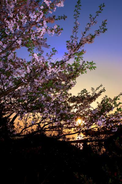 朝陽の中に 桜
