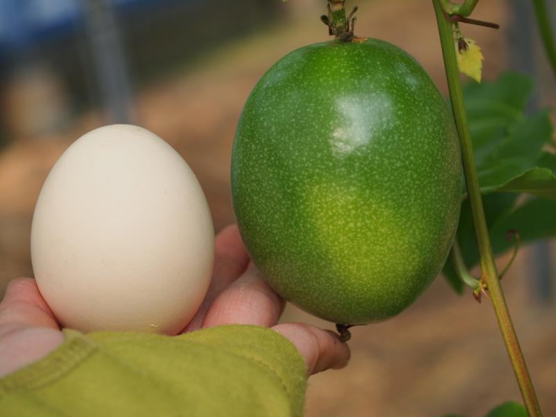 パッションフルーツ Lサイズ卵と