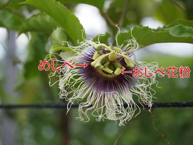 ジャンボサイズの花 説明