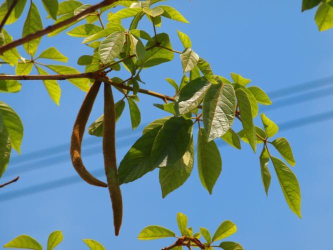 イペーの葉