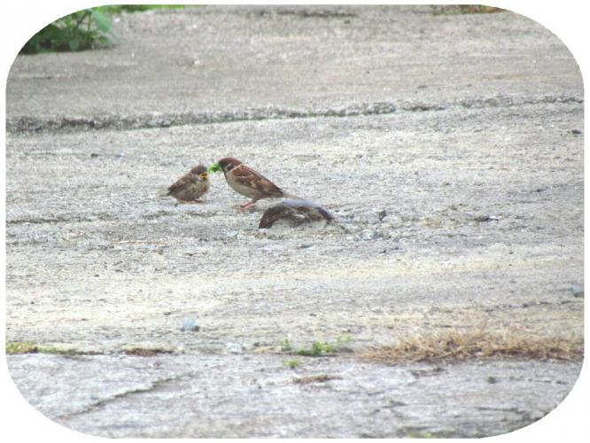 餌を運ぶ親鳥