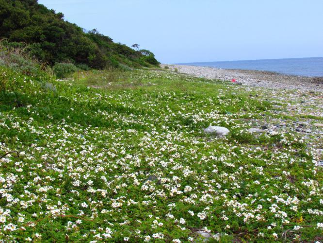 長目の浜に テリハノイバラ