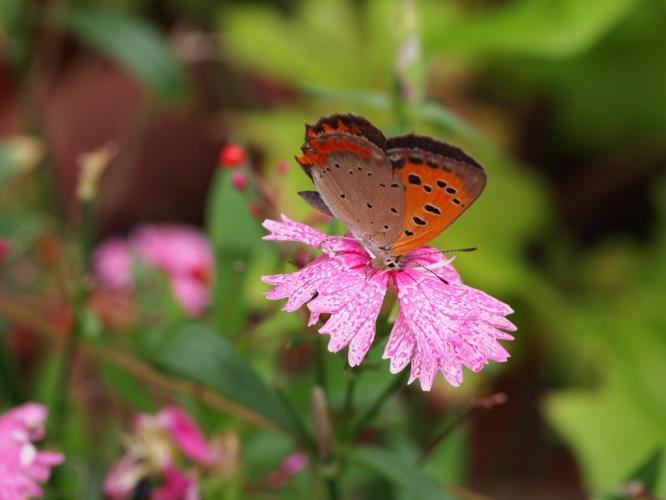 ナデシコにベニシジミ蝶
