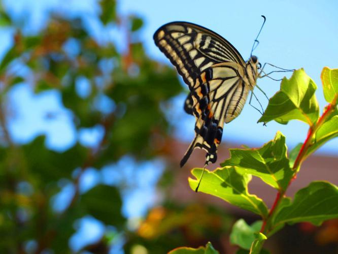 アゲハ蝶 1