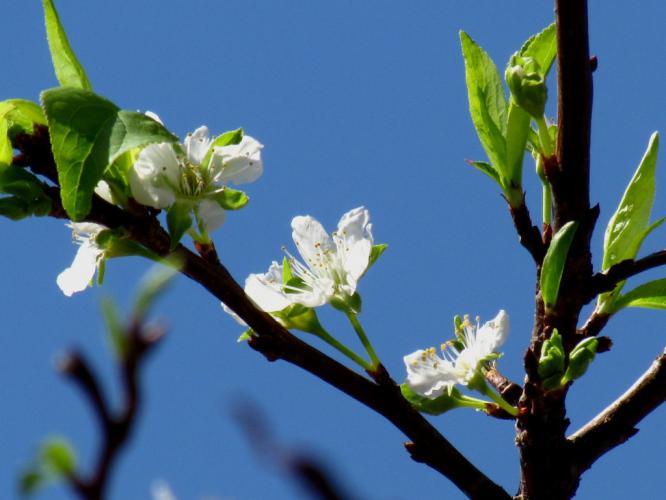 スモモの花が咲いています