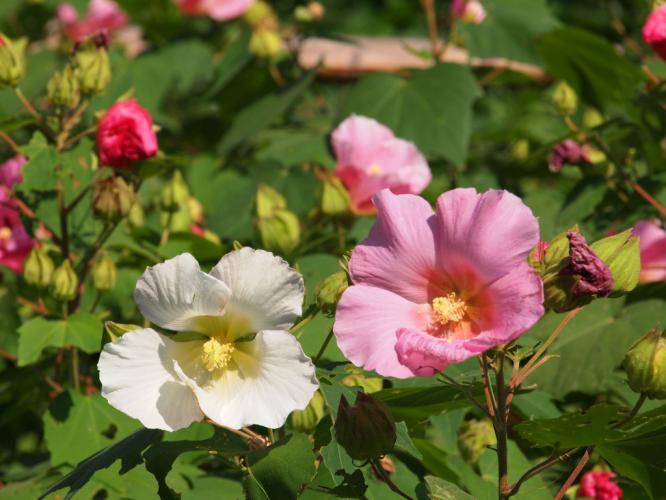 芙蓉の花 1