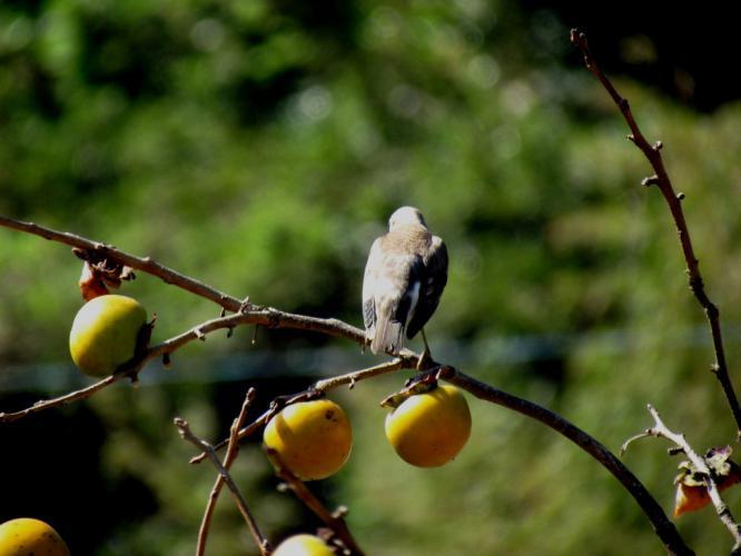 柿に野鳥?