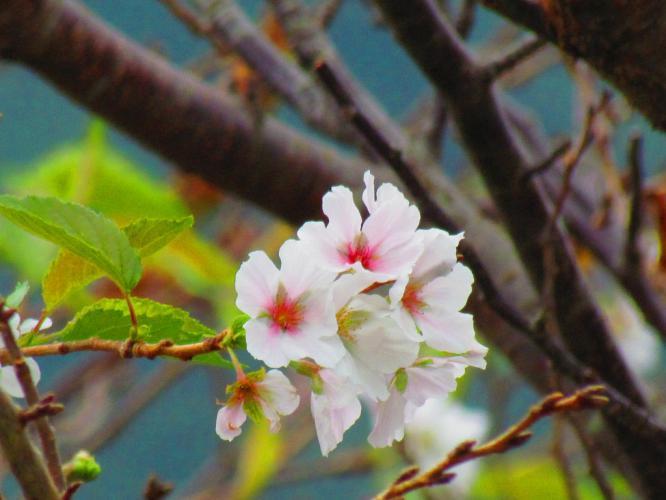 桜の花が咲いています