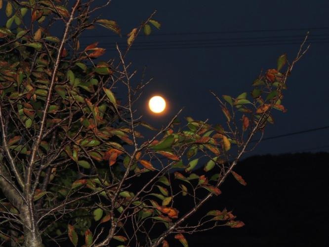 桜の木からお月さまを