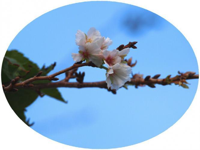 桜 咲いて