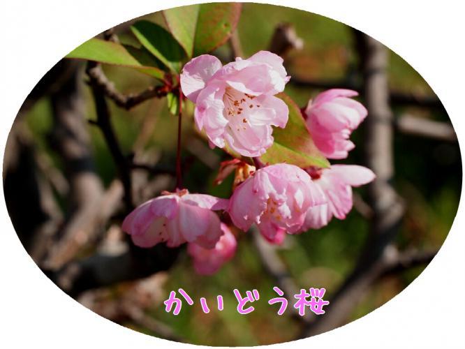 季節外れに咲く かいどう桜