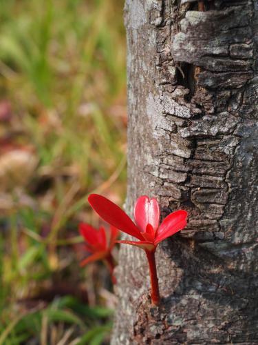 ひこばえの紅葉