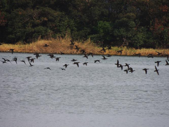 飛ぶ鴨たち
