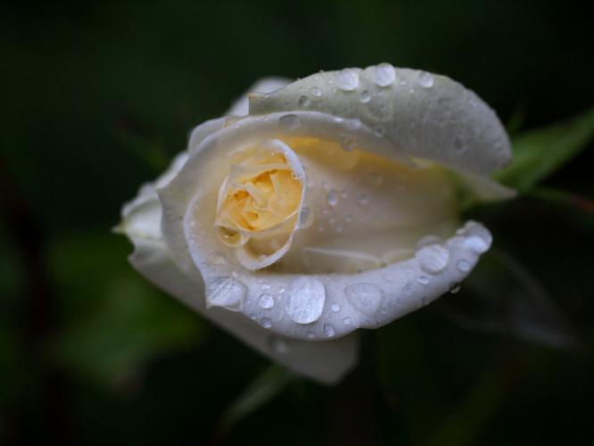 庭のバラも濡れて