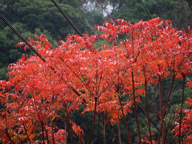 雨の日に ハゼの紅葉