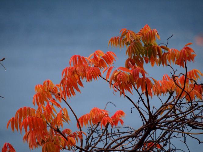 ハゼの紅葉 雨の日に