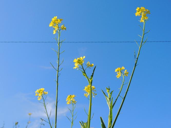 菜の花が咲いて 小春日に
