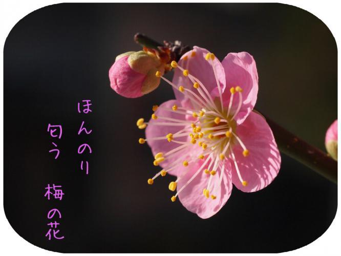 梅の花 満開 ほんのり匂う