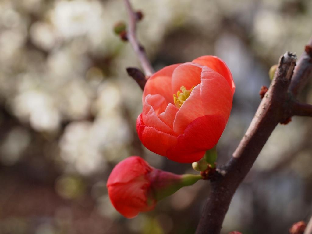 ボケ の花